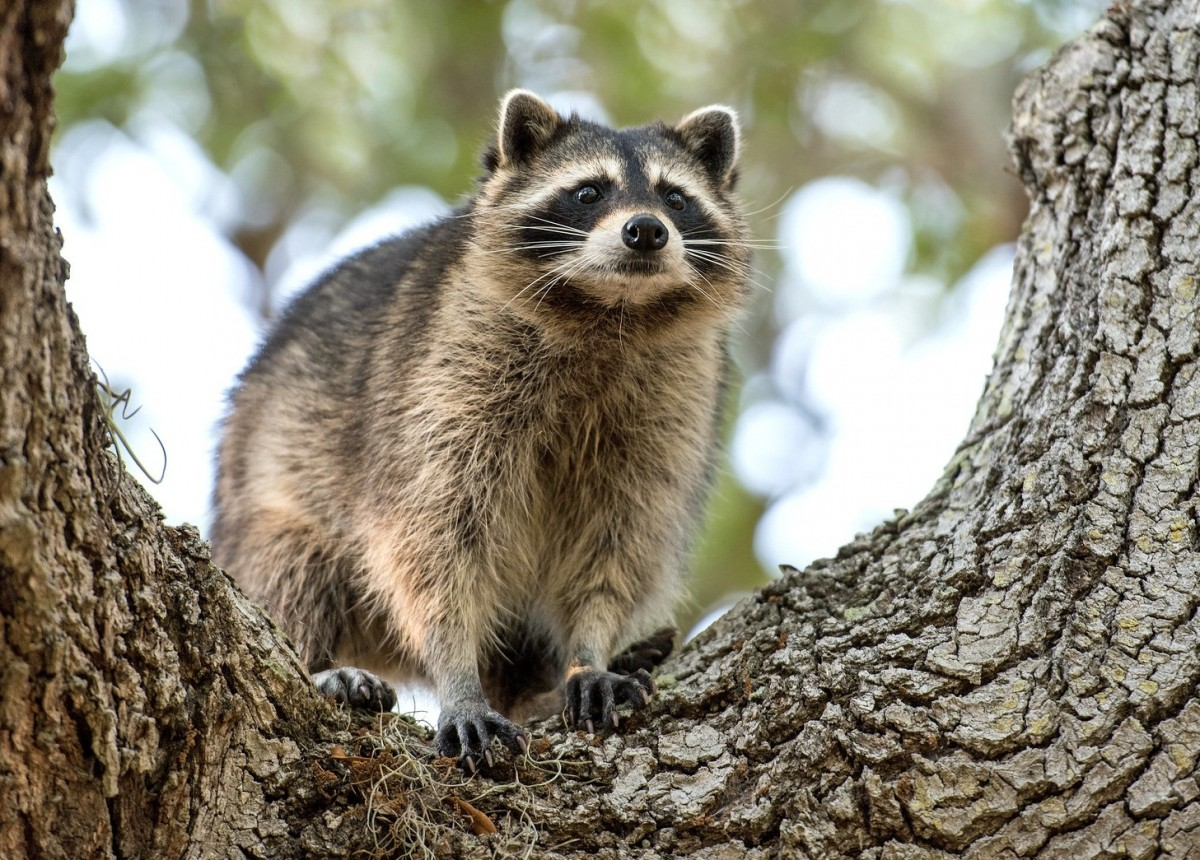 Puzzle Sammeln Puzzle Online - Raccoon on the tree
