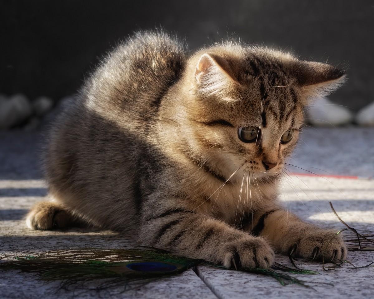 Puzzle Sammeln Puzzle Online - Playing kitten