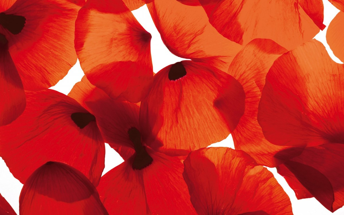 Puzzle Sammeln Puzzle Online - The petals of poppies