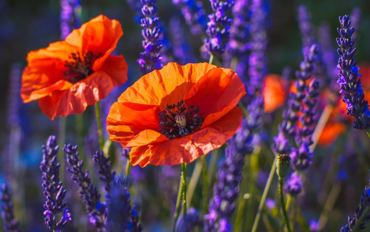 Puzzle Sammeln Puzzle Online - Poppies among the lavender