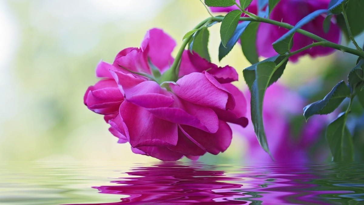 Puzzle Sammeln Puzzle Online - Rose over the water