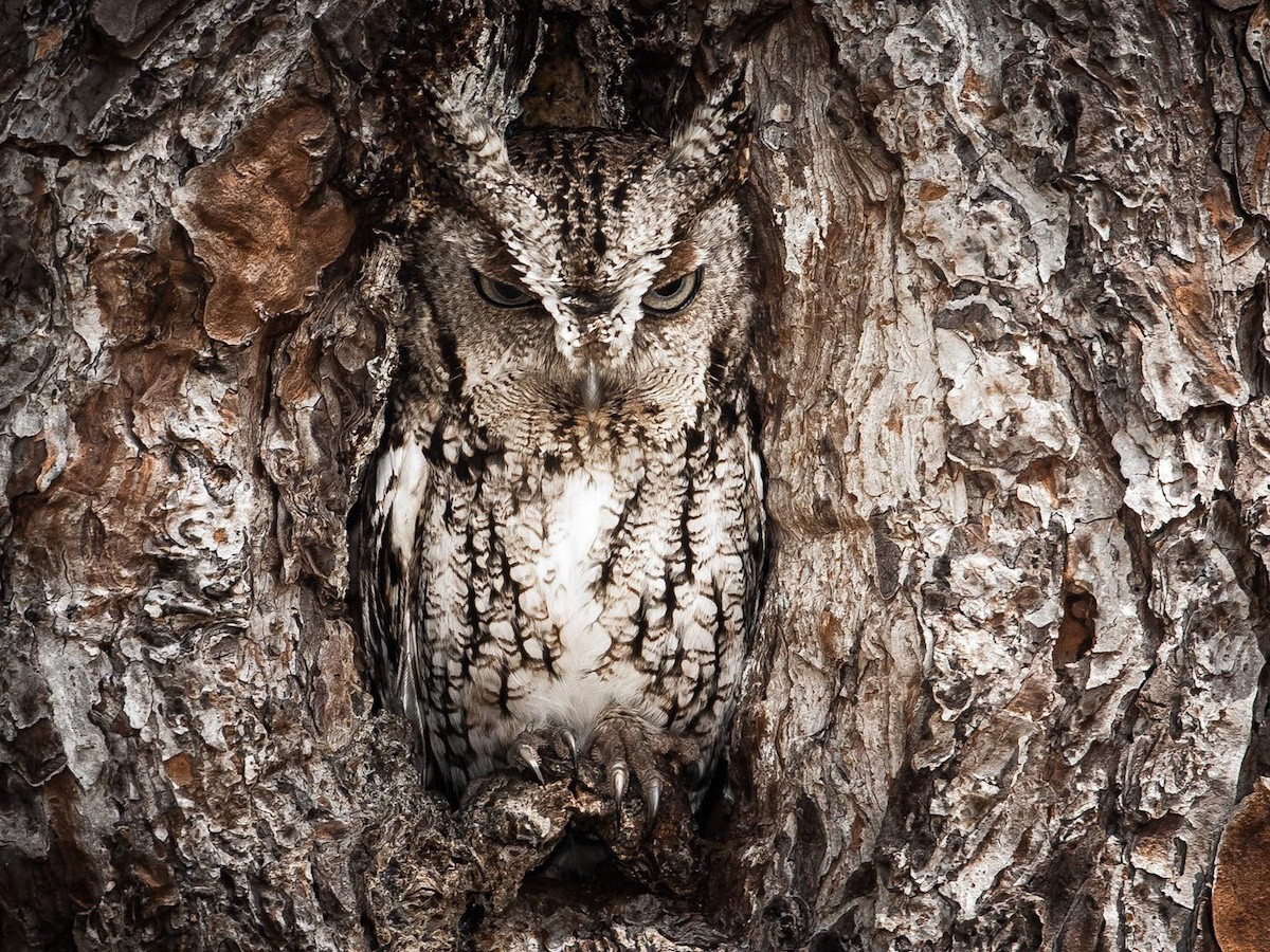 Puzzle Sammeln Puzzle Online - Owl in the hollow