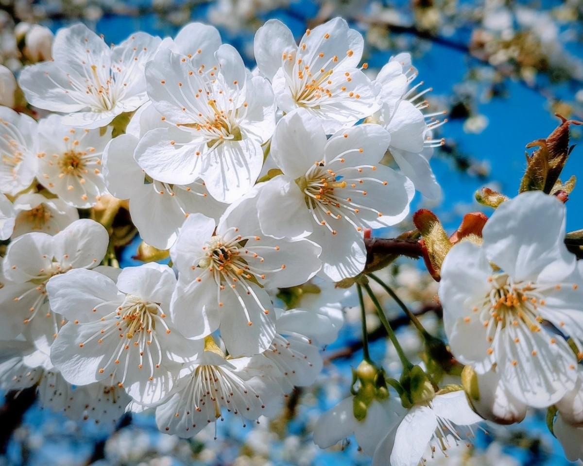 Puzzle Sammeln Puzzle Online - The cherry blossoms