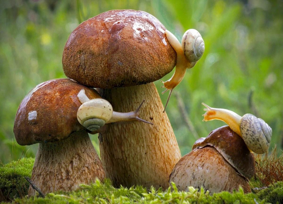 Puzzle Sammeln Puzzle Online - Snail on mushrooms