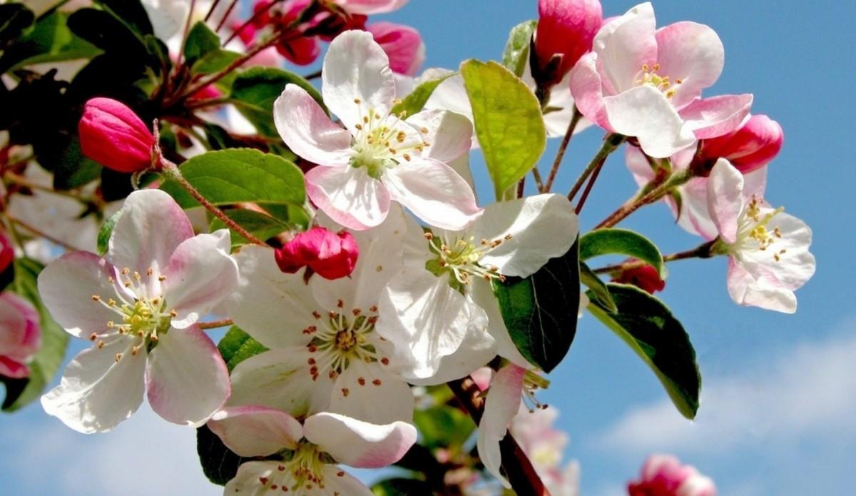 Puzzle Sammeln Puzzle Online - Spring Apple tree