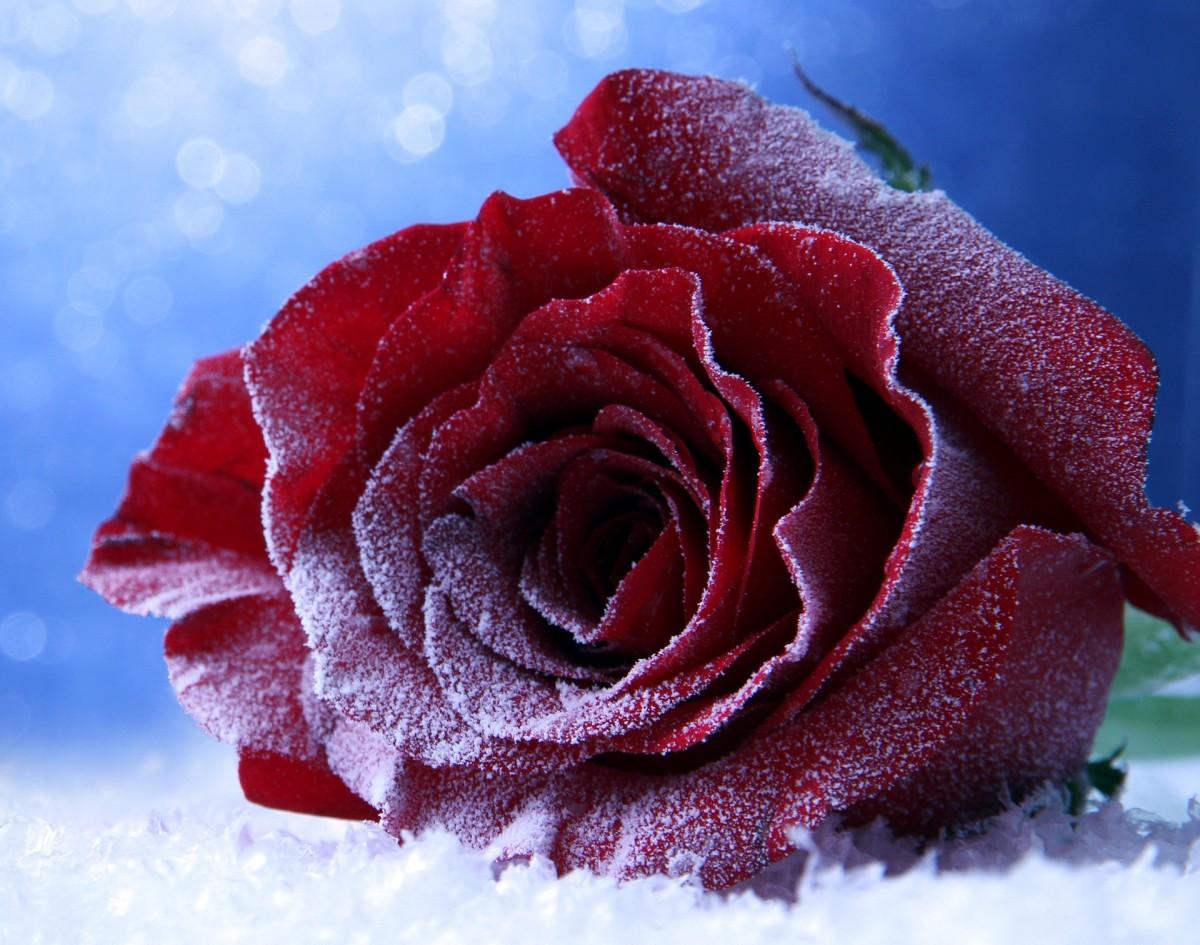 Puzzle Sammeln Puzzle Online - Winter rose