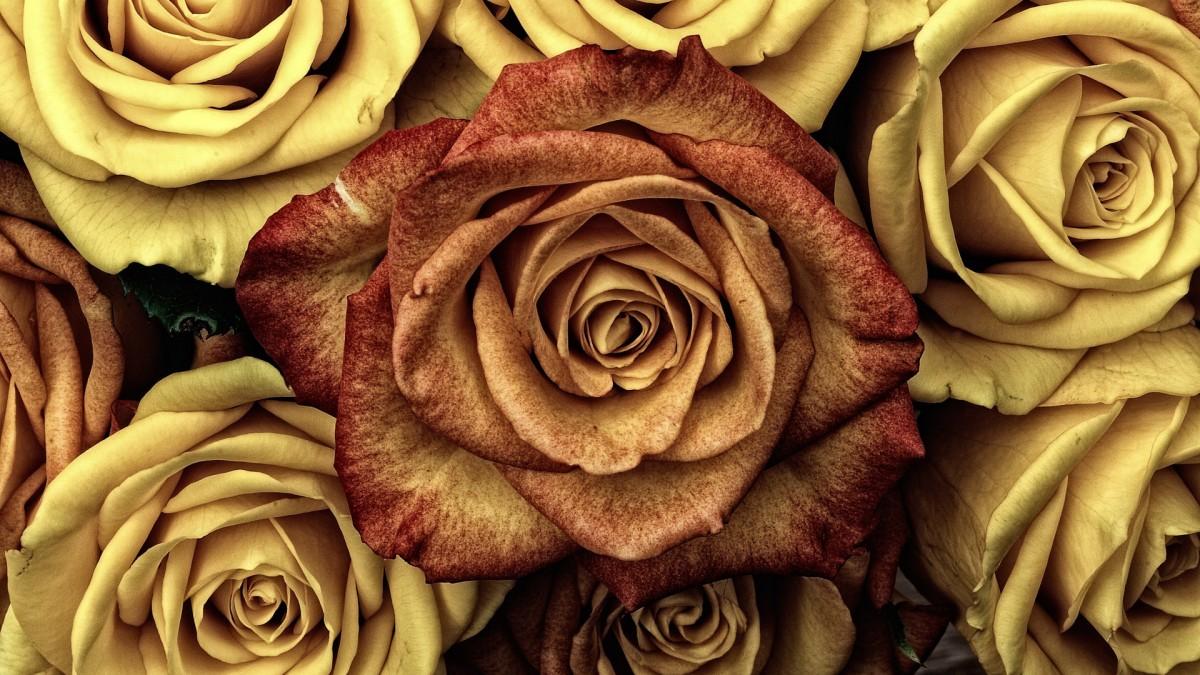 Puzzle Sammeln Puzzle Online - Golden roses