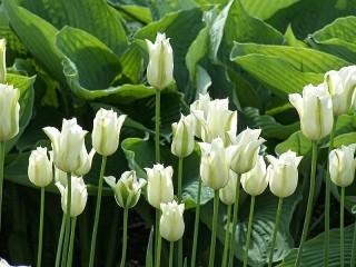 Собирать пазл White tulips онлайн