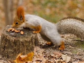 Собирать пазл Squirrel and nuts онлайн