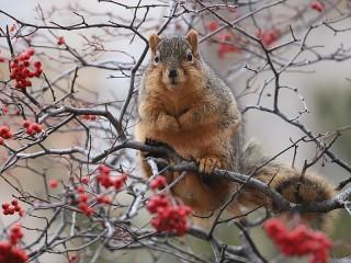 Собирать пазл Squirrel amongst berries онлайн