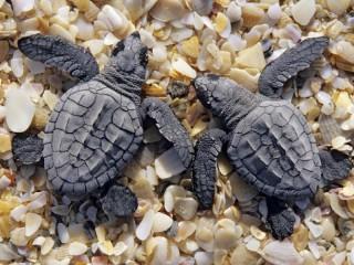 Собирать пазл Turtle онлайн