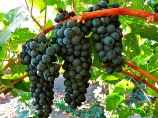 Собирать пазл Black grapes онлайн