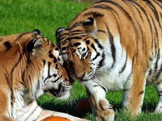 Собирать пазл Two tigers онлайн