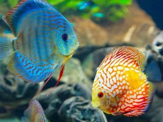 Собирать пазл Two fishes онлайн