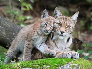 Собирать пазл Two lynx онлайн