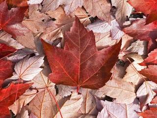 Собирать пазл Flag of Leaves онлайн