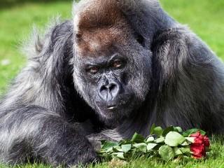 Собирать пазл Gorilla s buketom  онлайн