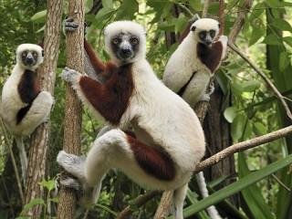 Собирать пазл Crested indri онлайн