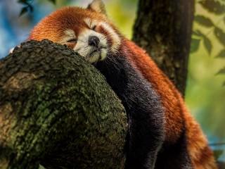 Собирать пазл Red panda онлайн