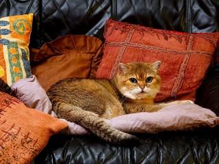 Собирать пазл Cat on cushions онлайн