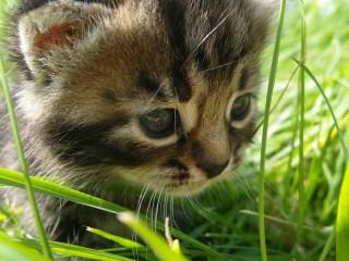 Собирать пазл kitten in the grass онлайн