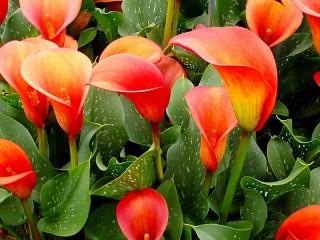 Собирать пазл Red calla lilies онлайн