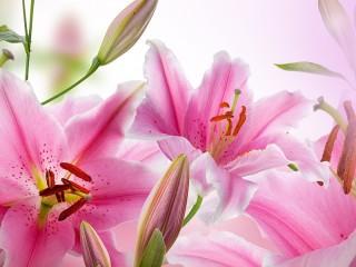 Собирать пазл lilii онлайн