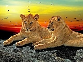 Собирать пазл Lions онлайн