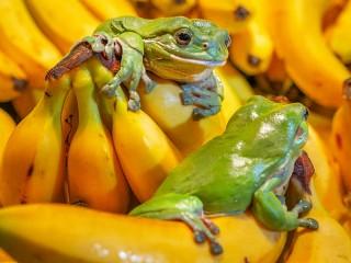Собирать пазл Frogs and bananas онлайн