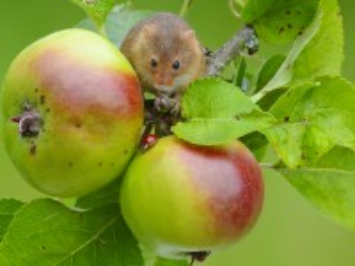 Собирать пазл Mouse on Apple онлайн
