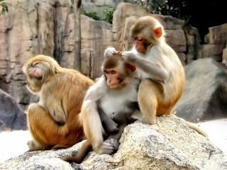 Собирать пазл Monkeys онлайн