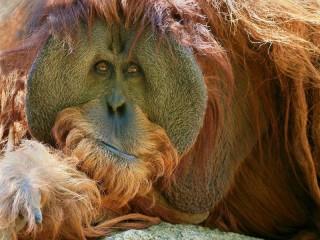 Собирать пазл Orangutan онлайн