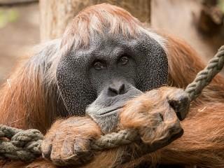 Собирать пазл Orangutan become sad онлайн