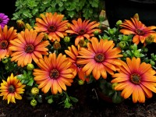 Собирать пазл Orange daisies онлайн