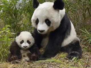 Собирать пазл Panda онлайн