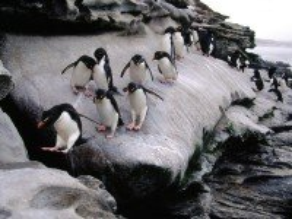 Собирать пазл pingvini онлайн