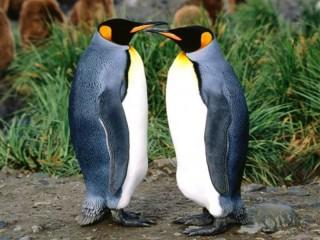 Собирать пазл penguins онлайн
