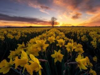 Собирать пазл Field of daffodils онлайн