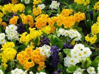 Собирать пазл Primroses and hyacinths онлайн