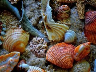 Собирать пазл Seashells онлайн