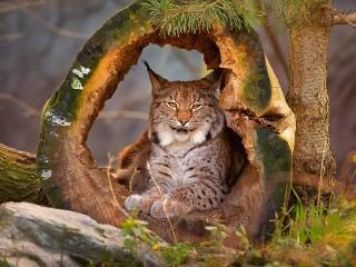 Собирать пазл Lynx in the woods онлайн