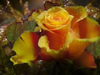 Собирать пазл the Rose онлайн