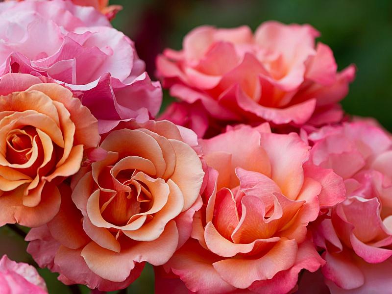 Puzzle Sammeln Puzzle Online - Rozovie rozi