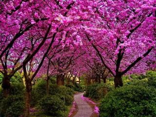 Собирать пазл Sakura v parke онлайн