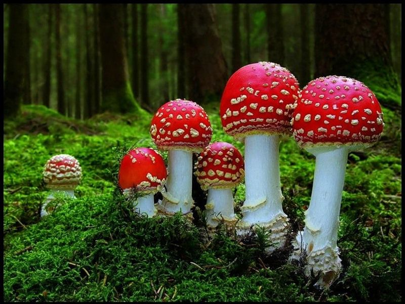 Puzzle Sammeln Puzzle Online - The family of fly-agarics