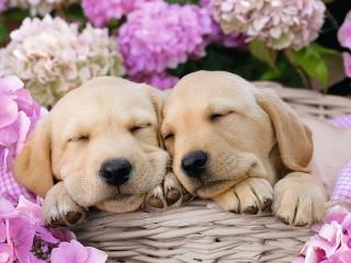 Собирать пазл Puppies in a basket онлайн