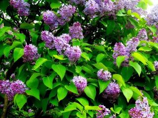 Собирать пазл Lilac spring онлайн
