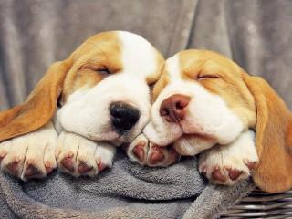 Собирать пазл Sleeping puppies онлайн