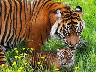 Собирать пазл Tigers in the grass онлайн