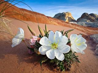 Собирать пазл Desert flower онлайн